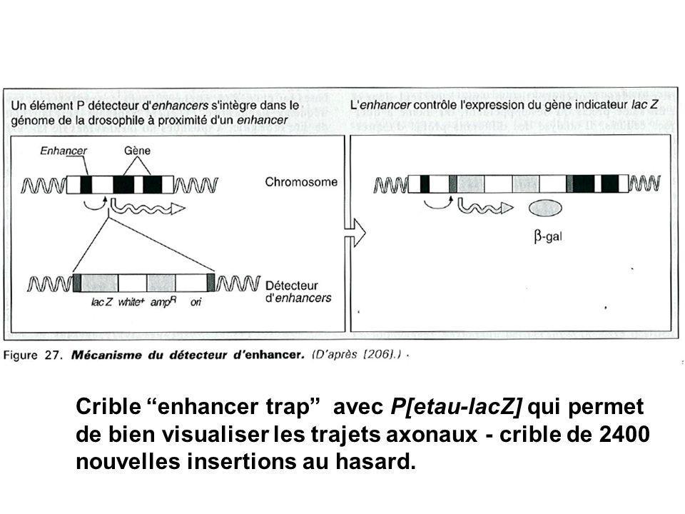 Crible enhancer trap avec P[etau-lacZ] qui permet